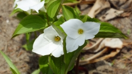 The trillium blankets the forests all through the country roads and beside the cottage driveway