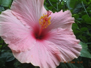 i don't remember what type of flower this is, but it reminds me of hawaiian leis