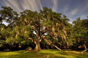 Fairchild Oak tree, Ormond Beach, Fla. 2